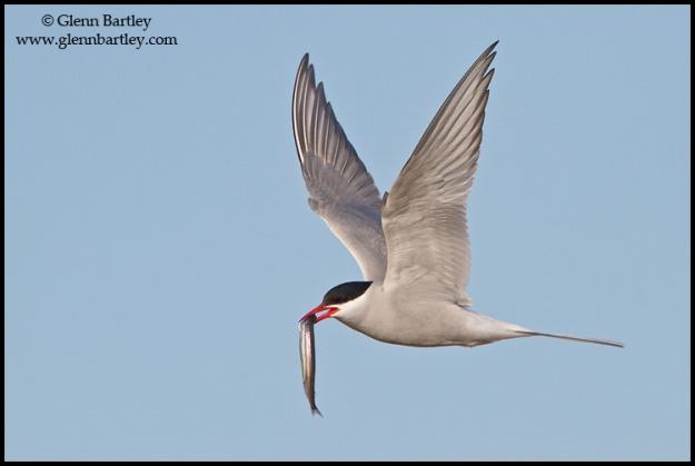 Arctic Tern (Strena paradisaea) flying in Churchill, Manitoba, Canada.