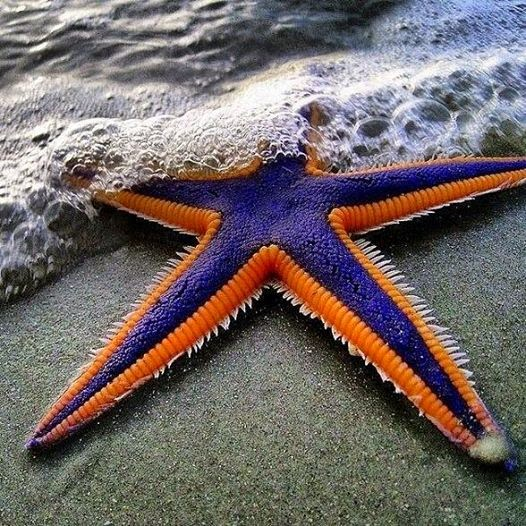 Beautiful Royal Starfish.