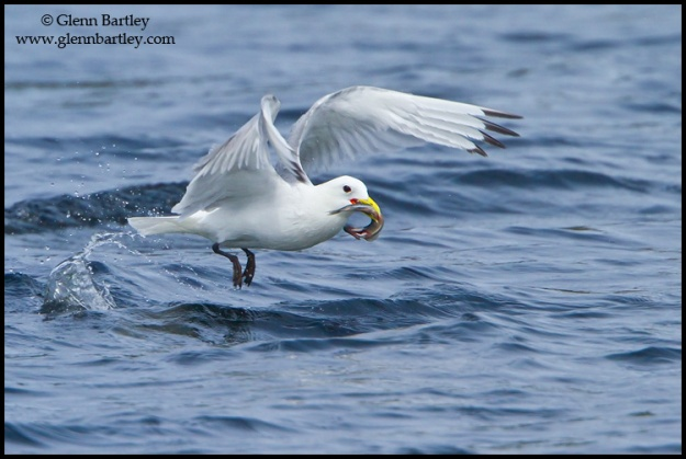 Black-legged Kittiwake - 01