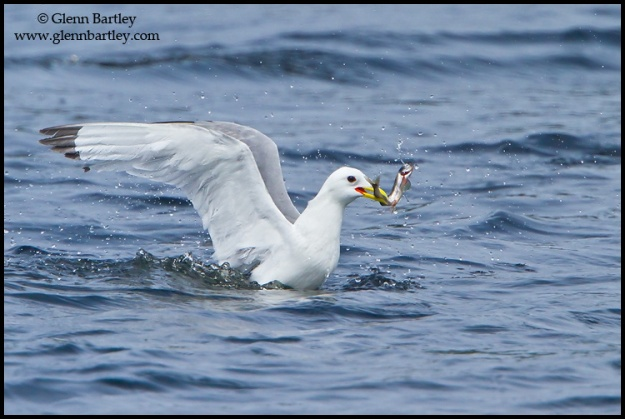 Black-legged Kittiwake - 03