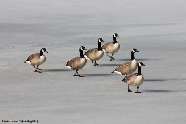 canada-geese-031