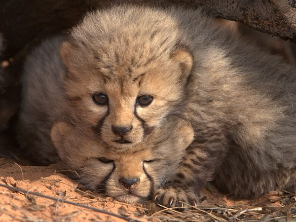 cheetah-cubs-den_48287_600x450