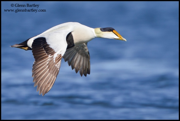 Common Eider (Somateria mollissima) flying in Churchill, Manitoba, Canada.