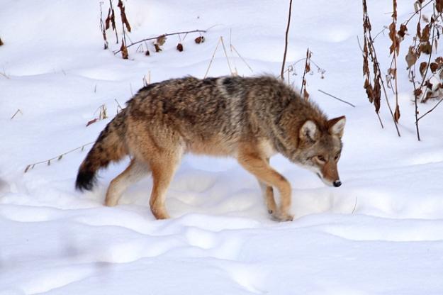 coyote-11