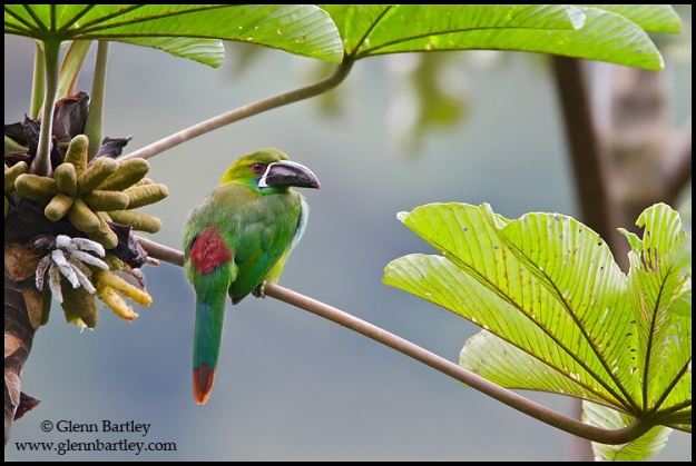 Crimson-rumped Toucanet - 02