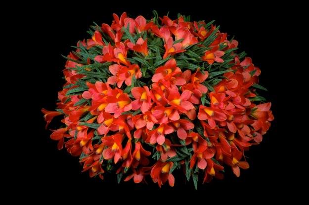 Dendrobium cuthbertsonii 'Christopher John'