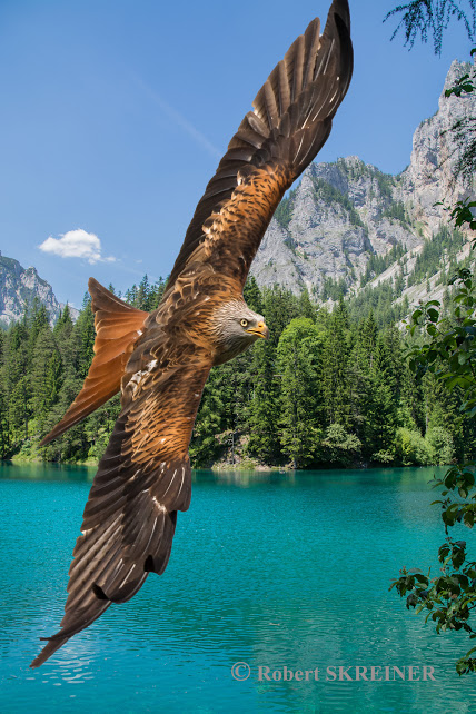 Red Kite  (Milvus milvus)  - Rotmilan - Grüner See