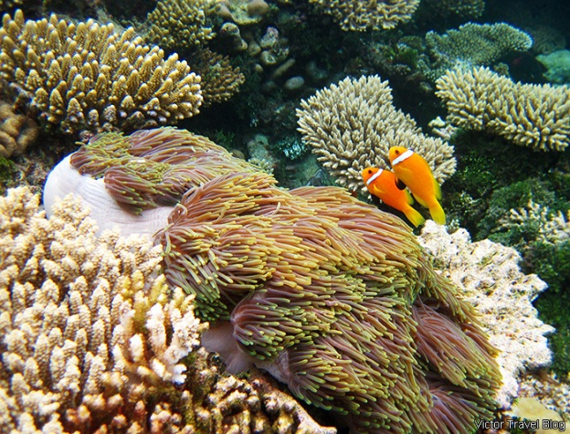 endangered-coral-reef-robinson-club-maldives-104