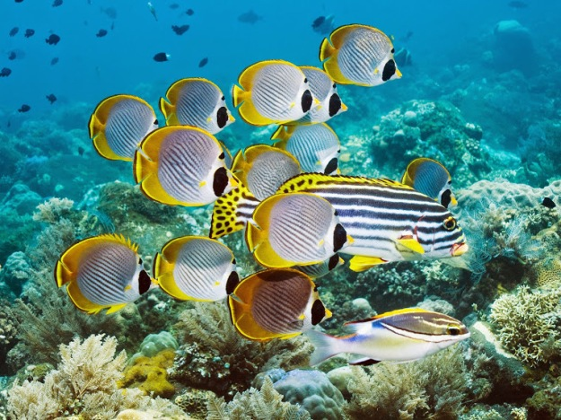 eyepatch-butterflyfish-bali-indonesia