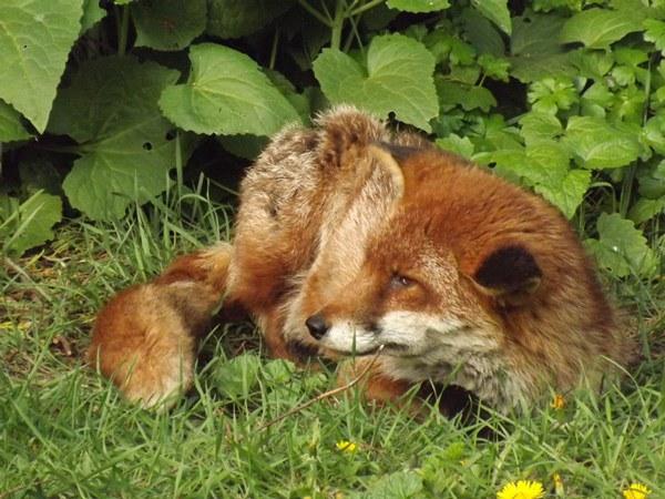 fox_colchester