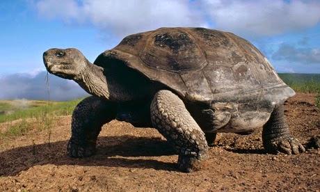 Galapagos-Giant-Tortoise-011