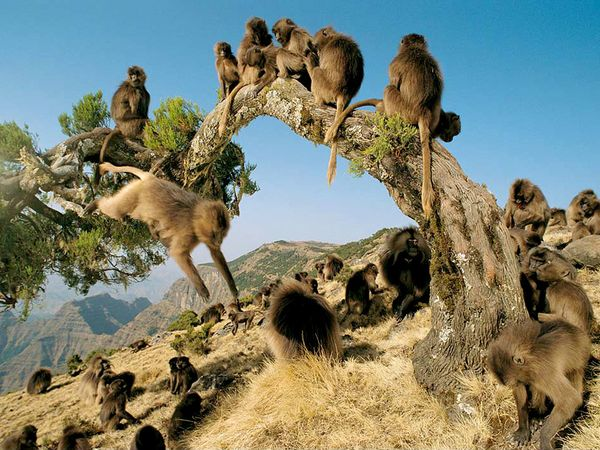 gelada-baboons_536_600x450
