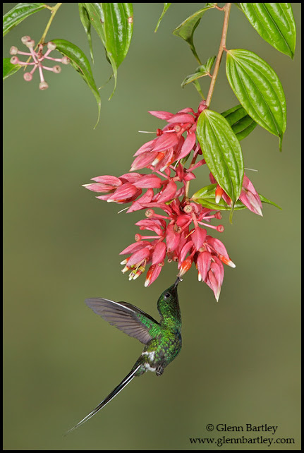 Green Thorntail - 13