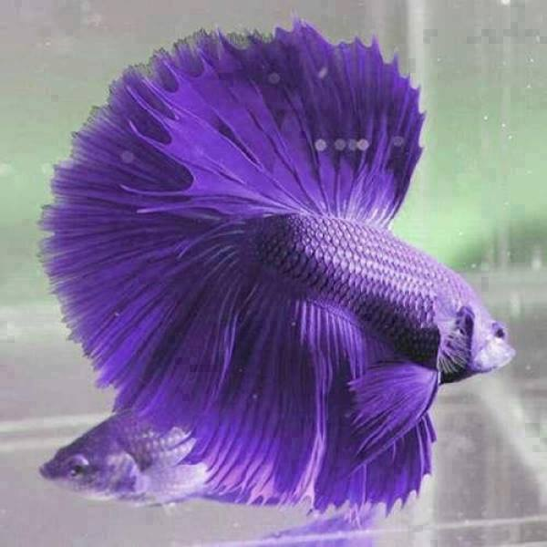 half_moon_violet_betta_fish_24905065
