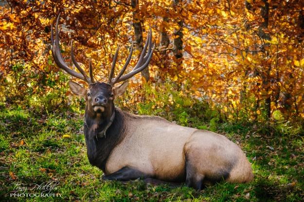 Heintooga Elk