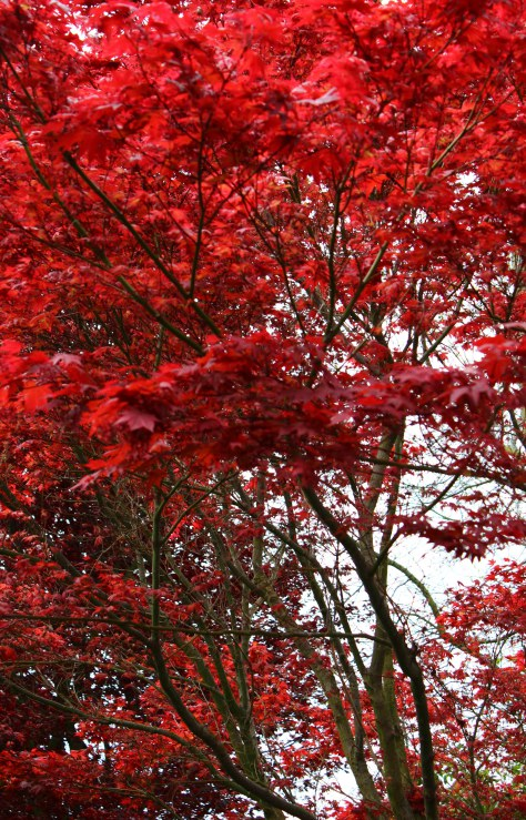 japanese-maple-jpeg