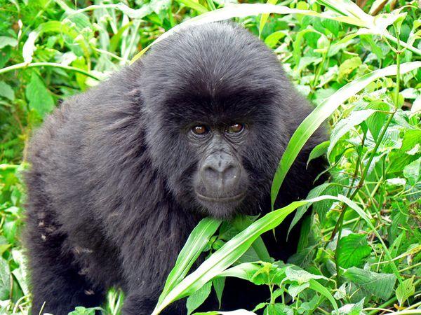 kwibesha-gorilla-vir_5897_600x450