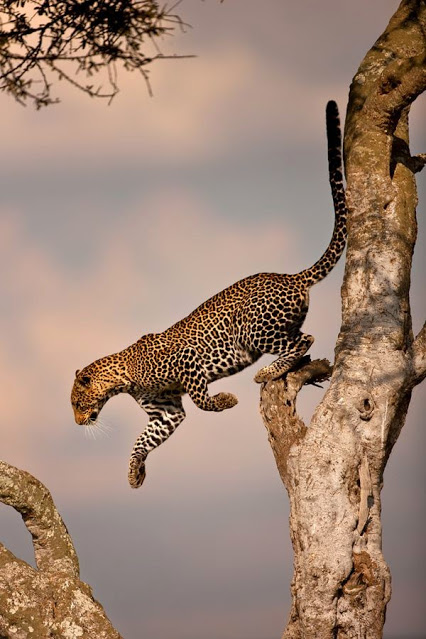 Leopard in action
