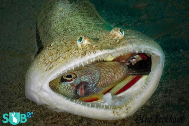 lizardfish-swallows-a-damselfish-286-medium