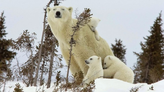 mother-polar-bear-and-cubs-national-park-canada