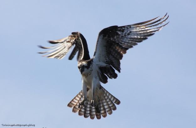 osprey-022