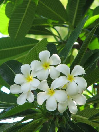 Plumeria obtusa1
