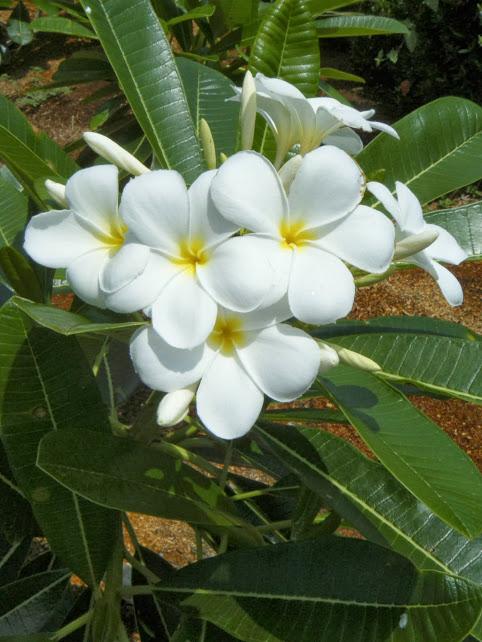 Plumeria obtusa3