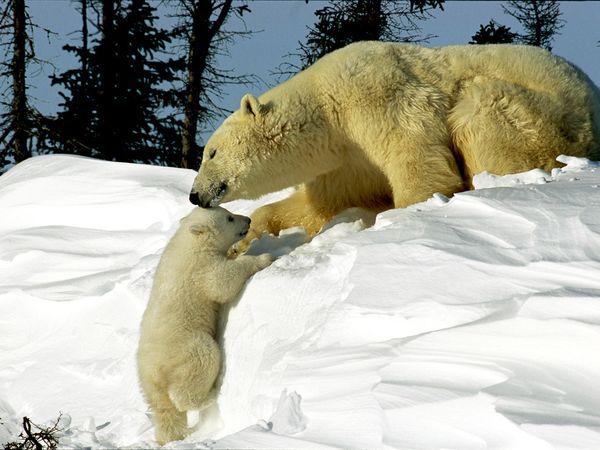 polar-bears_242_600x450