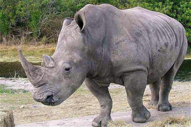 President Rhino apprearance