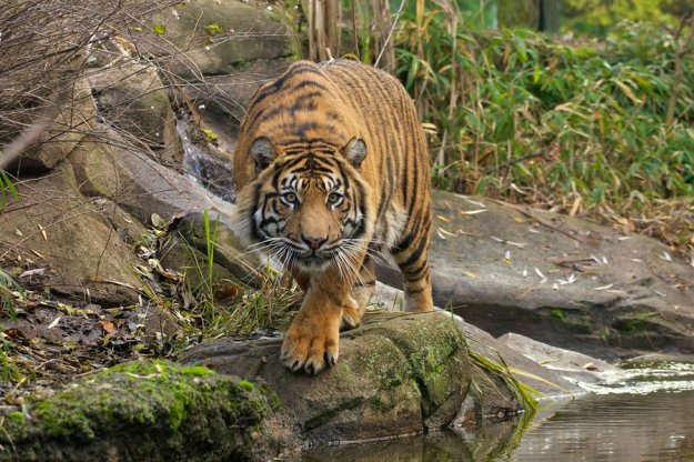 Prowling tiger by Tygrik   http://goo.gl/oHUcRR