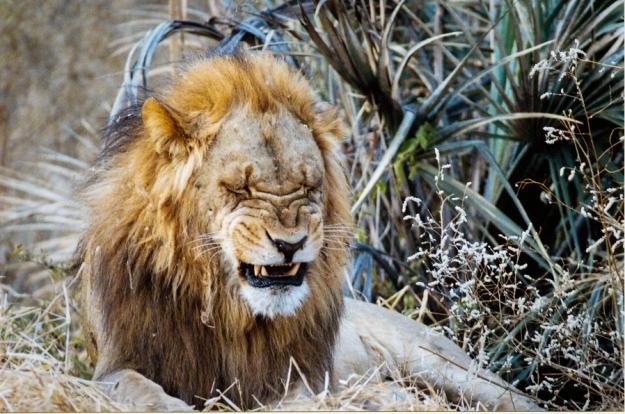 Pug Lion-1