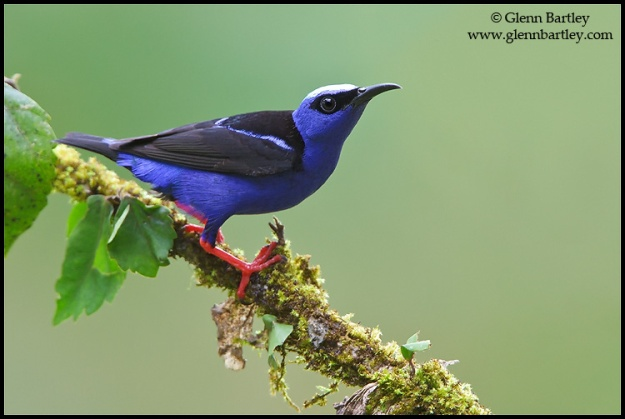 Red-legged Honeycreeper (Cyanerpes cyaneus) perched on a branch in Costa Rica.