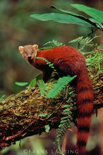 Ring-tailed mongoose, Galidia elegans, Ranomafana National Park, Madagascar. By Frans Lanting