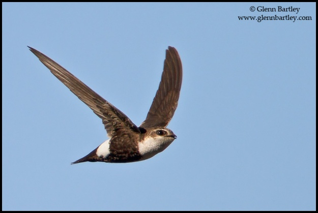 White-throated Swift - 07