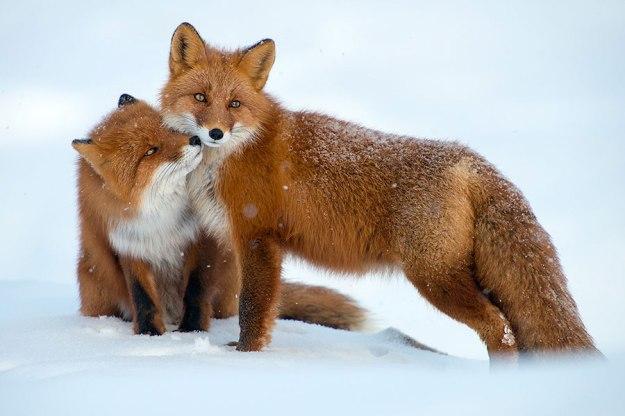 wild-foxes-photography-ivan-kislov-22