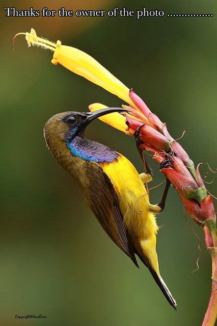 2.13 Olive Backed Sunbird, found from Southern Asia to Australia