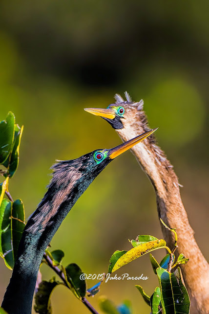 4N1A8336_Anhingas in courtship