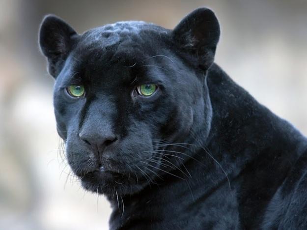 big-cats-31