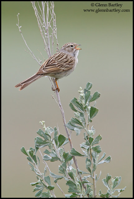 Brewer's Sparrow - 02