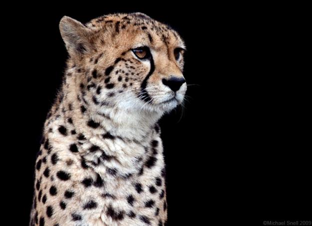 Cheetah 1 by Mick75   http://goo.gl/uYasRR