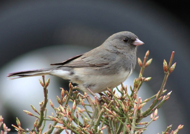 dark-eyed-junco-015