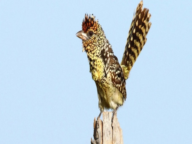DArnauds-Barbet