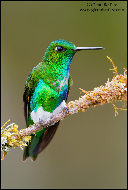 Emerald-bellied Puffleg (Eriocnemis alinae) perched on a branch in Peru.