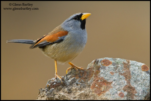 Great Inca-Finch (Incaspiza pulchra) perched on a rock in Peru.