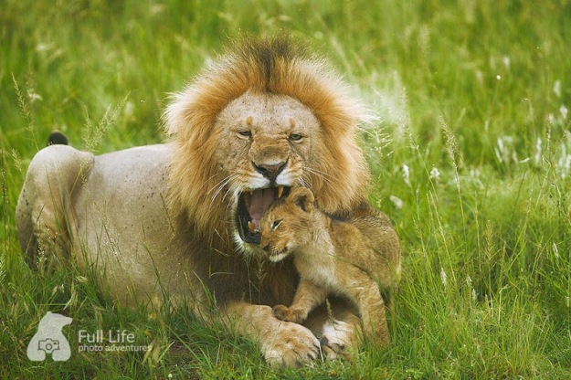 KENYA_male_lion_biting_cub