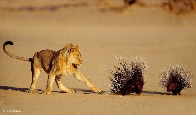 Lion and Porcupine