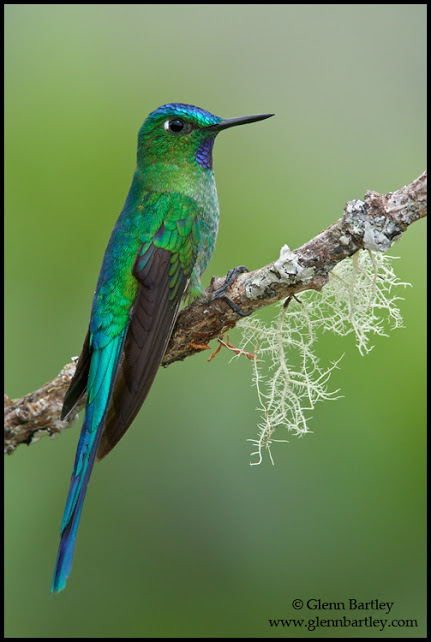 Long-tailed Sylph (Aglaiocercus kingi) perched on a branch in Peru.