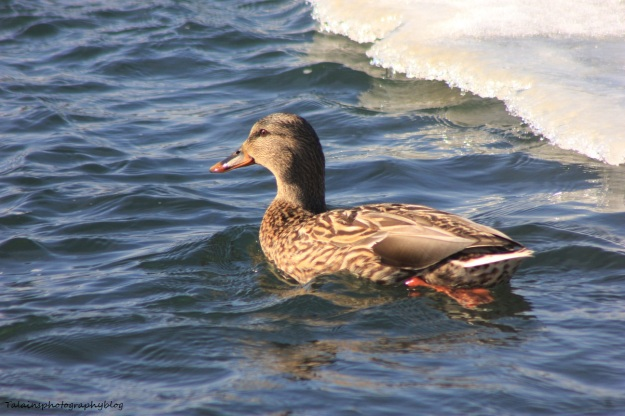mallard-ducks-004