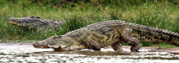 nile-crocodileII