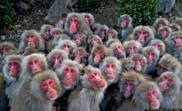 Wild Japanese Macaque Huddle To Keep Warm